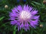 purpleastorweb
